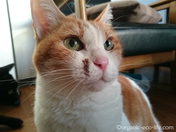 顔にチョコが付いた猫