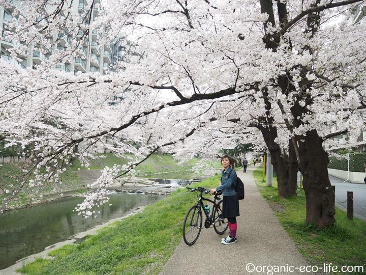 桜とクロスバイク