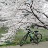 【入間市】自転車で霞川の桜堤を見に行きました