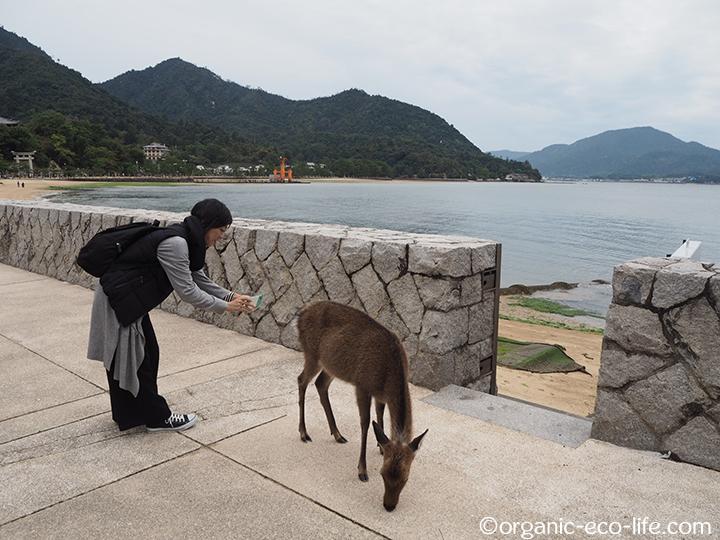 宮島で鹿を撮る私