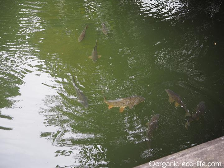 血洗いの池の鯉