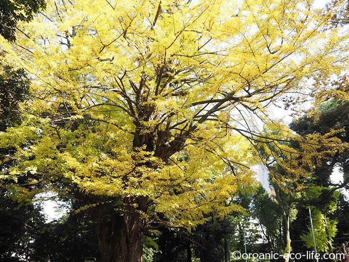 氷川神社の銀杏