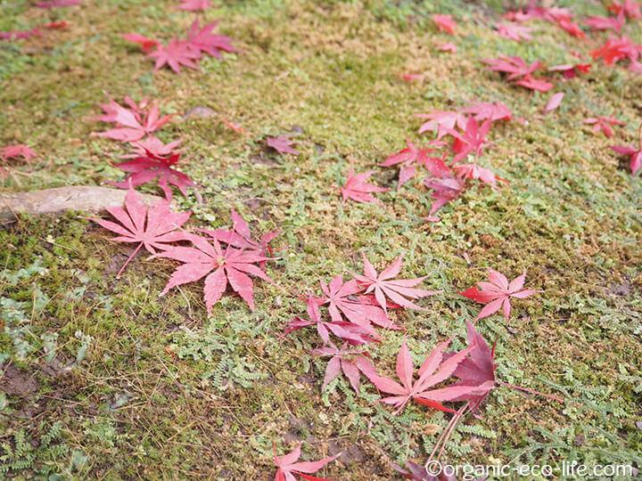 苔の上の紅葉