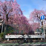 クロスバイクで砂川堀のしだれ桜を見に行きました